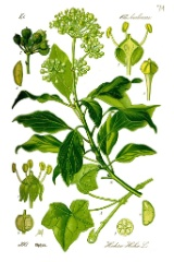 Efeu (Hedera helix), Thome, gemeinfrei